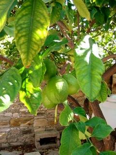 Green lemons on the gate-end tree