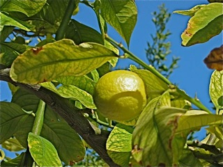 Ripening lemon on the garage-end tree