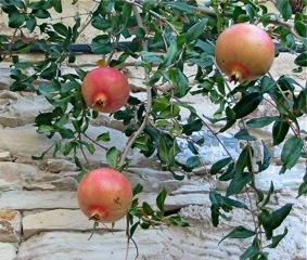 Near-ripe pomegranates
