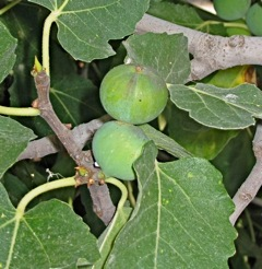 Yet more figs